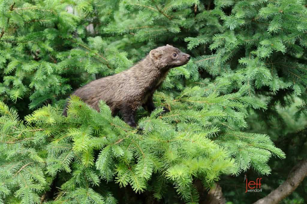 Wildlife Photography – Weasels Mustelidae