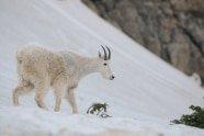 Mountain Goat, Oreamnos americanus