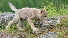 Tundra Wolf, Canis lupus albus