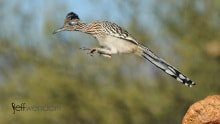 Greater Roadrunner leaping off rocks photographed by Jeff Wendorff