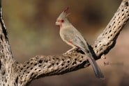 Pyrrhuloxia or Desert Cardinal - Female photographed by Jeff Wendorff