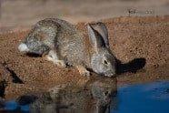 Desert Cottontail, Sylvilagus audubonii. Also Audubon's Rabbit photographed by Jeff Wendorff