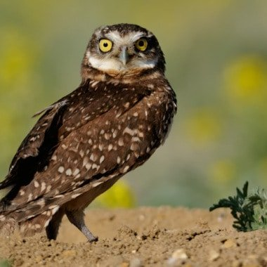 Bird Photography – Owls – Strigdae