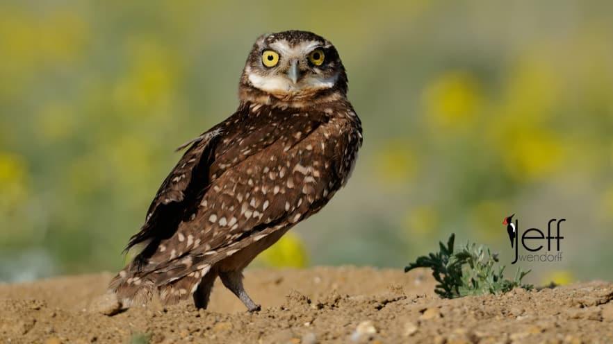 Bird Photography – Owls – Strigdae