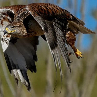 Great Birds in Flight Photography – Raptors!