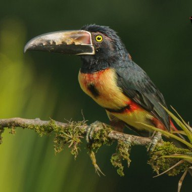 Bird Photography – Toucans – Ramphastidae