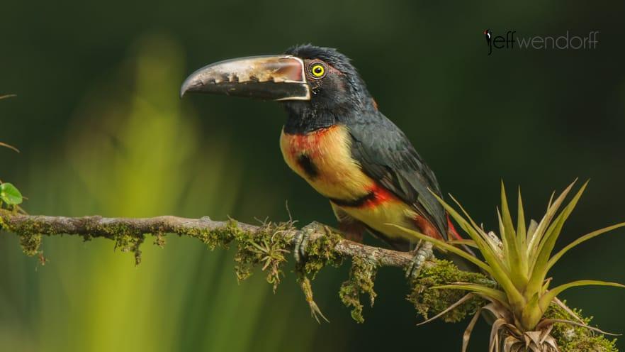 Bird Photography – Toucans – Ramphastidae