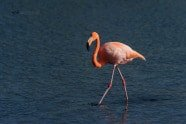 Greater Flamingo, Phoenicopterus ruber photographed by Jeff Wendorff
