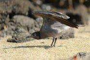 Lava Gull, Larus fuliginosus photographed by Jeff Wendorff