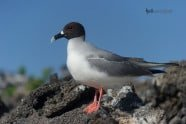Swallow-tailed Gull, Creagrus furcatus photographed by Jeff Wendorff