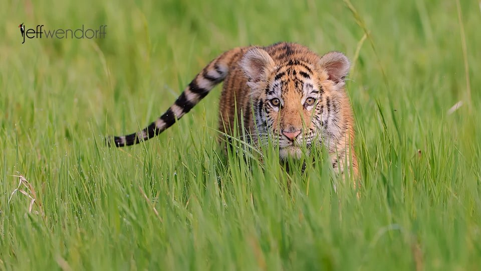 Baby Tiger Arrives for Wildlife Photography Workshop