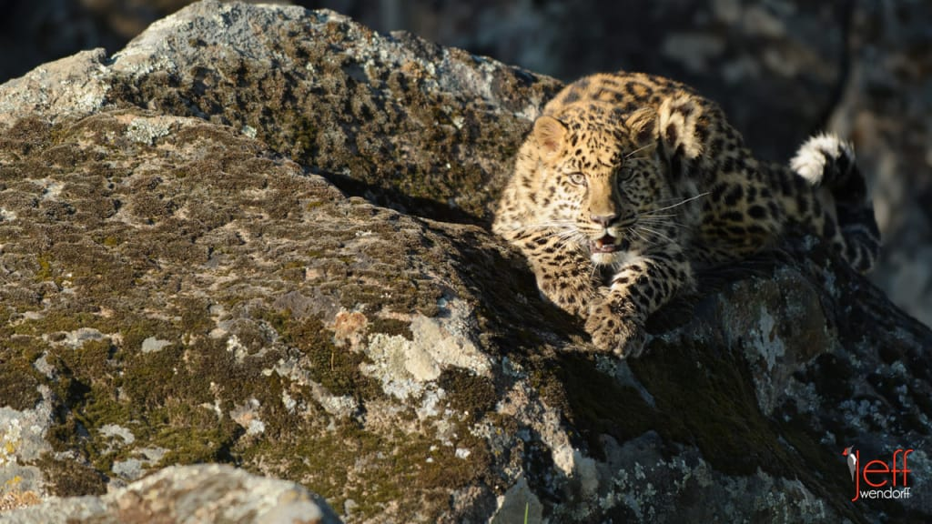 Wildlife Photography Workshop – Amur Leopard