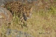 Amur Leopard during Wildlife Photography Workshop by Jeff Wendorff
