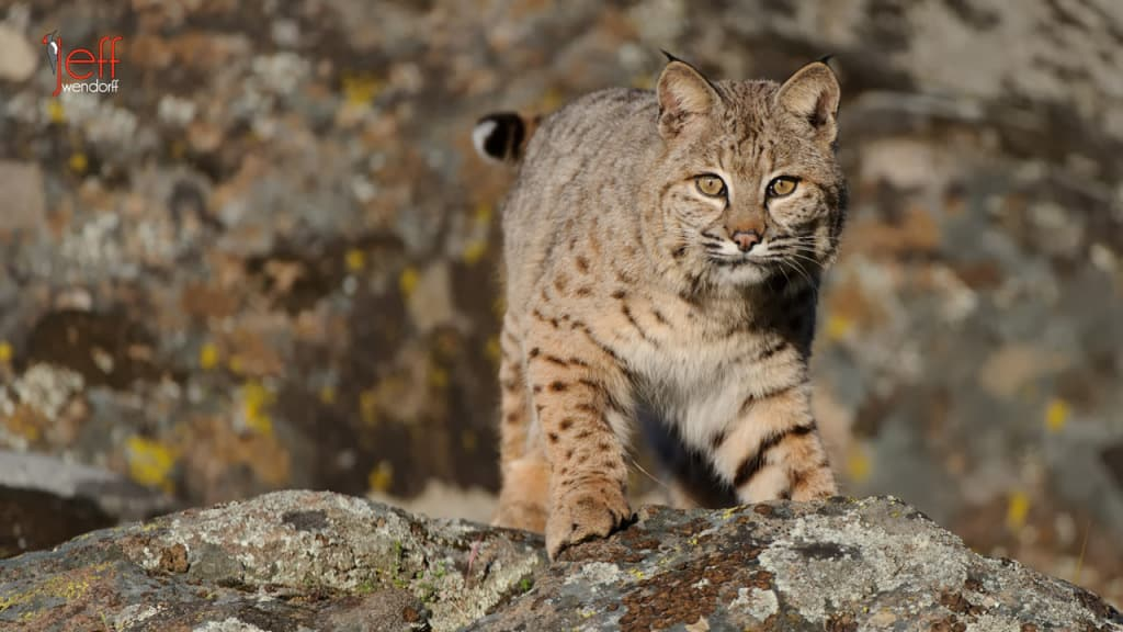 Wildlife Photography Workshop – Bobcats