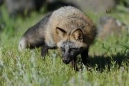 Crossfox from California Wildlife Photography Workshop photographed by Jeff Wendorff