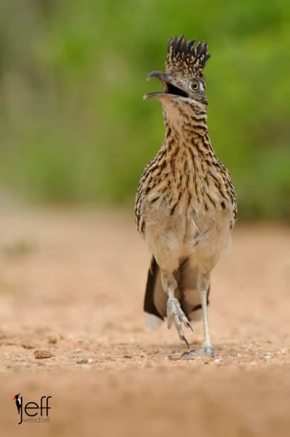 Greater Roadrunner, Geococcyx californianus photographed on South Texas Bird Photography workshop by Jeff Wendorff