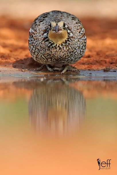 Northern Bobwhite, Colinus virginianus photographed on South Texas Bird Photography workshop by Jeff Wendorff