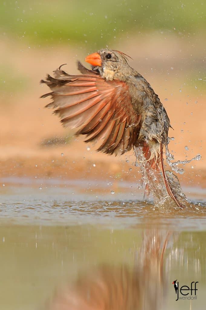 Northern Cardinal, Cardinalis cardinalis photographed on South Texas Bird Photography workshop by Jeff Wendorff