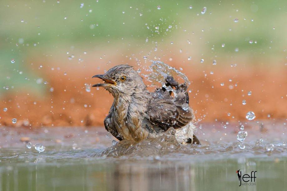 Northern Mockingbird, Mimus polyglottos photographed on South Texas Bird Photography workshop by Jeff Wendorff