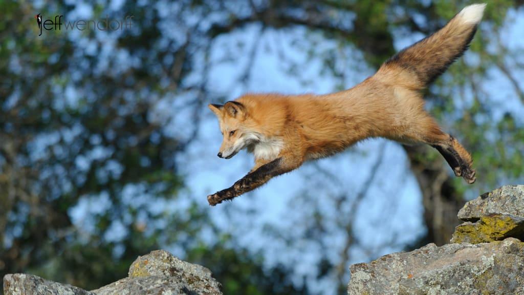 Wildlife Photography – Red Fox | Jeff Wendorff