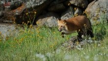 Red Fox from California Wildlife Photography Workshop photographed by Jeff Wendorff