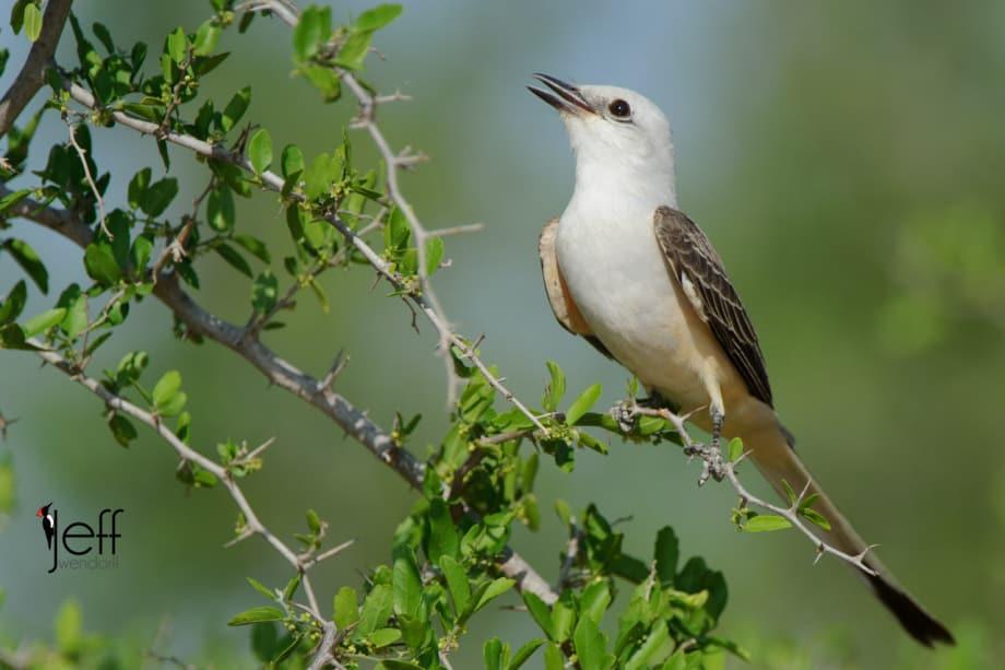 Scissor-tailed Flycatcher, Tyrannus forficatus photographed on South Texas Bird Photography workshop by Jeff Wendorff