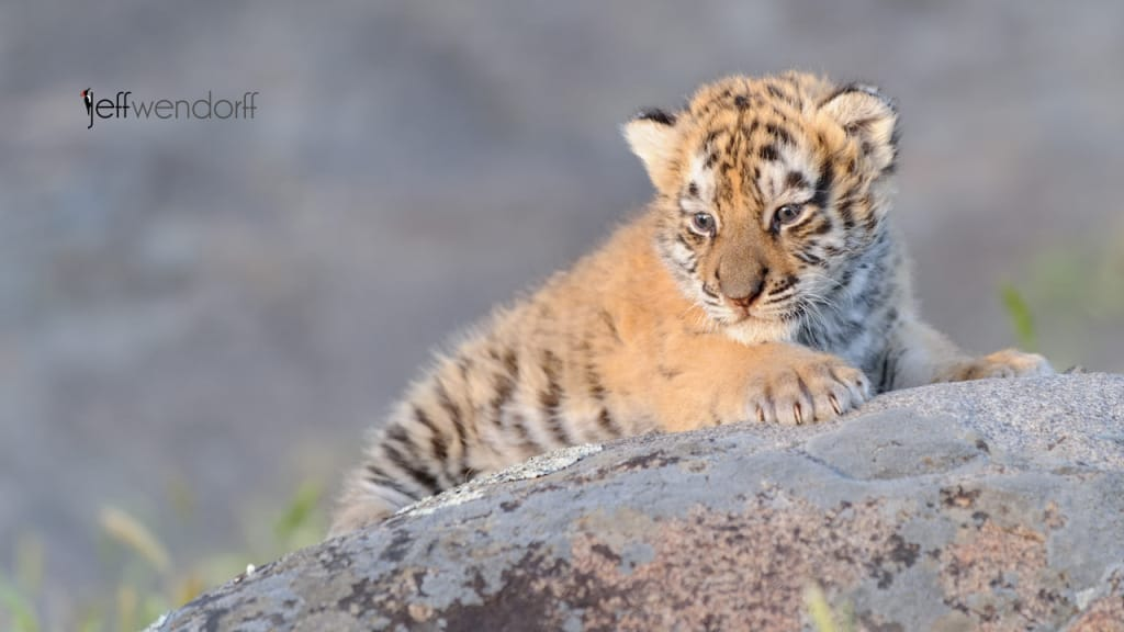Wildlife Photography Workshop – Tiger Cub