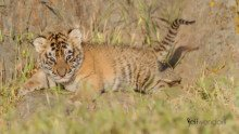 Tiger Cub - Baby Wildlife Photography Workshop photographed by Jeff Wendorff