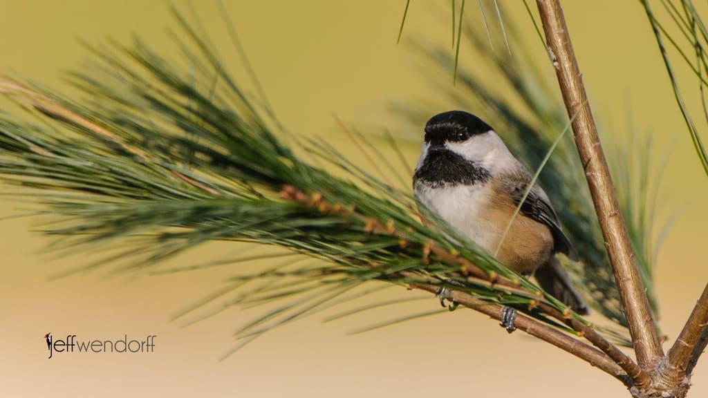 Chickadees and Titmice Photography from Jeff Wendorff's Bird Photography Portfolio