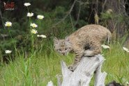 Baby Bobcat from Baby Wildlife Photography Workshop by Jeff Wendorff