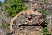 Baby Wildlife Photography Workshop - Adult Mt. Lion photographed by Jeff Wendorff