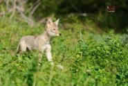 Baby Coyote from Baby Wildlife Photography Workshop