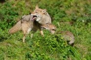 Baby Wildlife Photography Workshop - Coyote mother and pup photographed by Jeff Wendorff