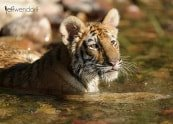 Baby Wildlife Photography Workshop - Juvenile Tiger photographed by Jeff Wendorff