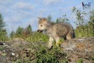 Baby Wolf Wildlife Photography Workshop by Jeff Wendorff