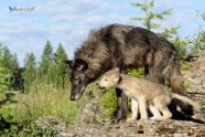 Baby Wildlife Photography Workshop - Tundra Wolf, mother and pup photographed by Jeff Wendorff