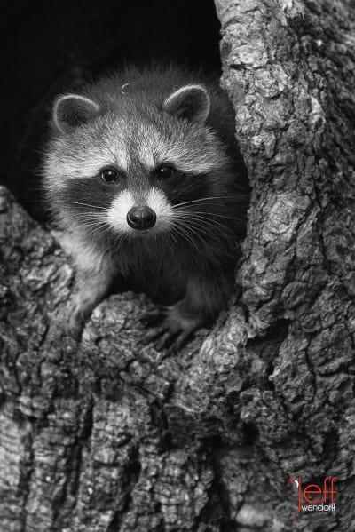 Nikon N1V1 and Wildlife Photography