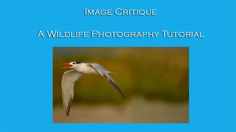 Image Critique – Tern in Flight