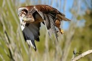 Bird Photography: Ferruginous Hawk, Buteo regalis by Jeff Wendorff