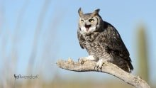 Bird Photography: Great Horned Owl, Bubo virginianus by Jeff Wendorff