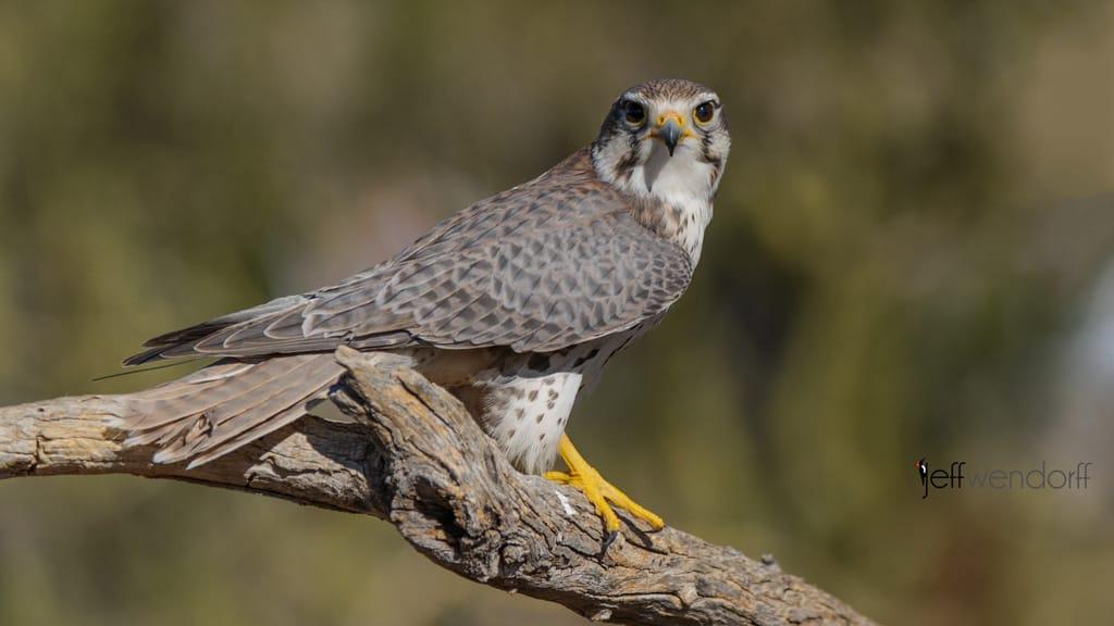 Bird Photography: Prairie Falcon, Falco mexicanus by Jeff Wendorff