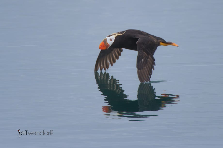 Tufted Puffin, Fratercula cirrhata. Also Crested Puffin photographed by Jeff Wendorff