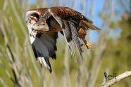 Ferruginous Hawk, Buteo Regalis in flight photographed by Jeff Wendorff
