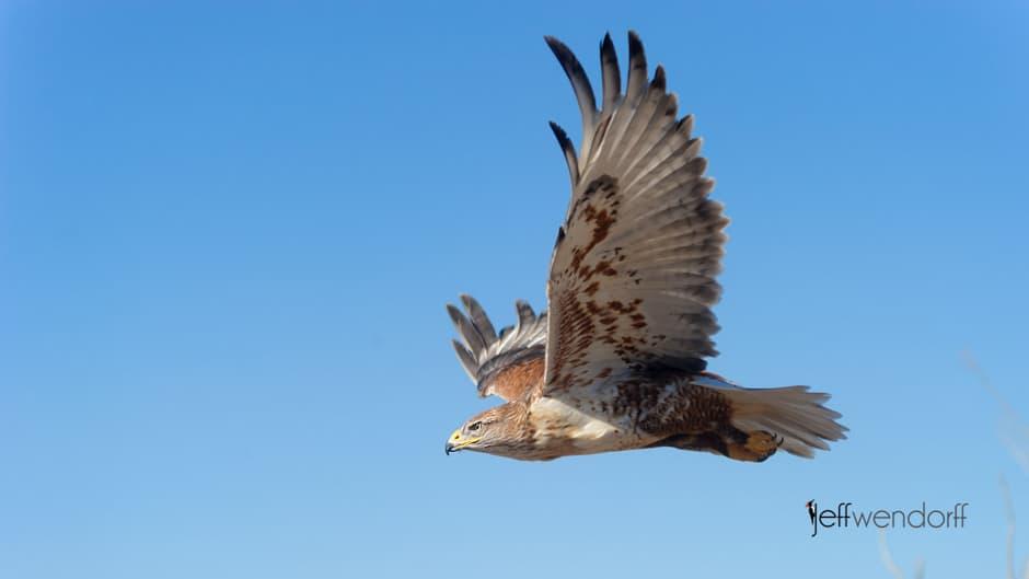 Bird Photography – Ferruginous Hawk, Buteo Regalis