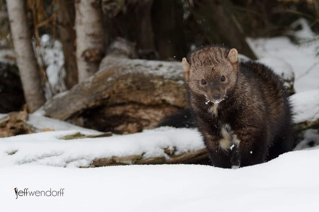 Fisher Cat Winter Wildlife Photography workshop by Jeff Wendorff