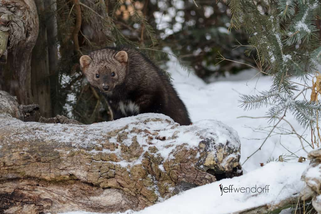 Wildlife Photography – Fisher Cats | Jeff Wendorff's Photography Blog