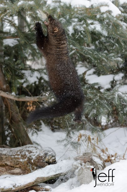 Fisher Cat Winter Wildlife Photography workshop by Jeff Wendorff