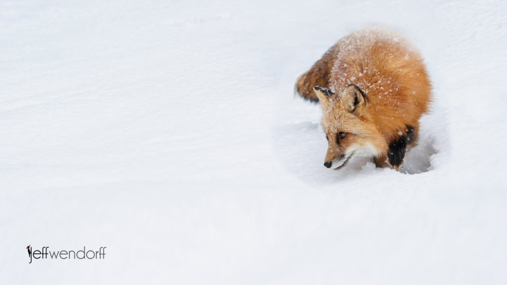 Wildlife Photography – Red Fox