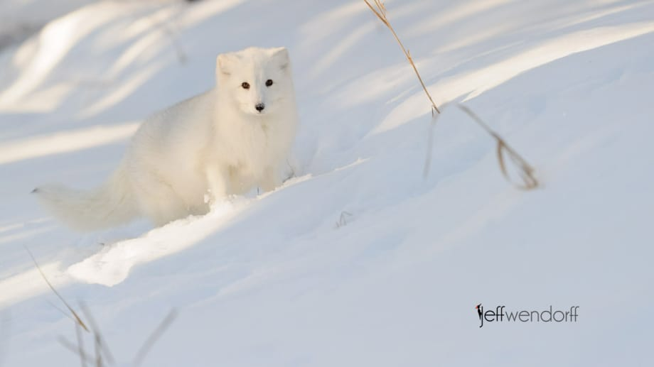 Winter wildlife photography workshop, Arctic Fox photographed by Jeff Wendorff