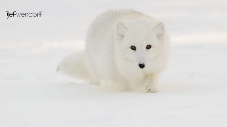 Winter wildlife photography workshop arctic fox photographed by Jeff Wendorff